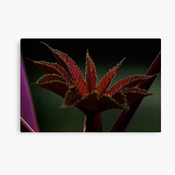 Delicate leaf (from my summer house) Canvas Print