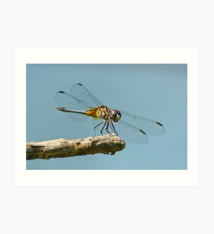 Blue Dasher on a Sunny Day Art Print