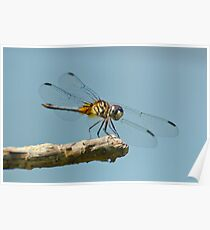 Blue Dasher on a Sunny Day Poster