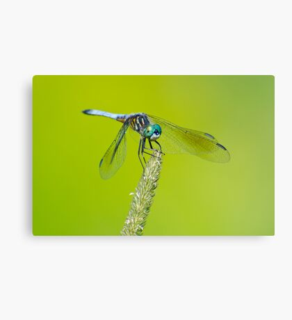 Blue Dasher on Timothy Canvas Print