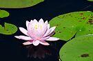 Pink Water Lily on the Ipswich River by Steve Borichevsky