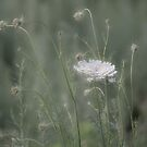 Queen Anne's Lace by Lynn Wiles