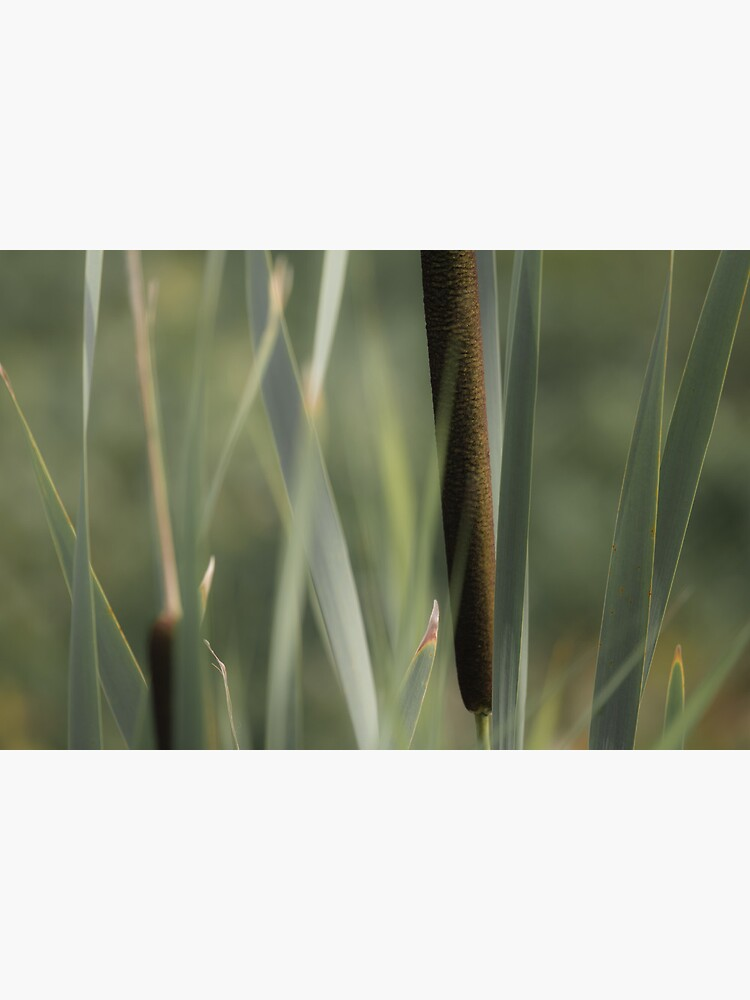 Cattails by LynnWiles