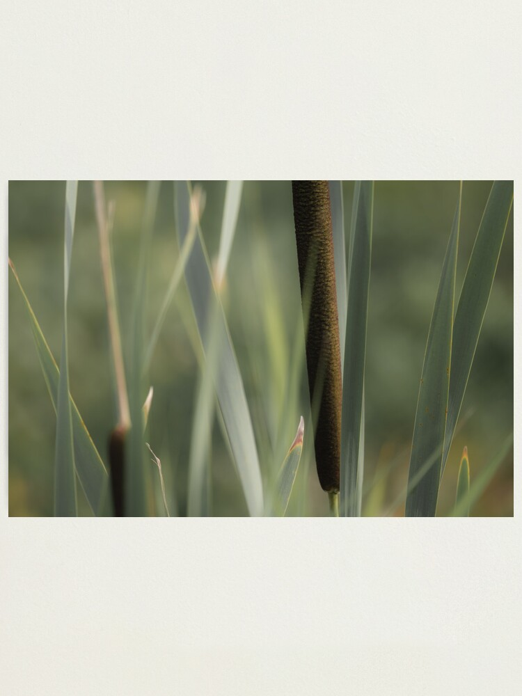Alternate view of Cattails Photographic Print