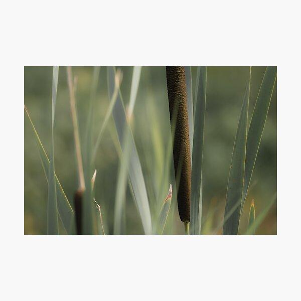 Cattails Photographic Print