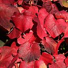 Red, The Colour of Autumn. by John Dalkin