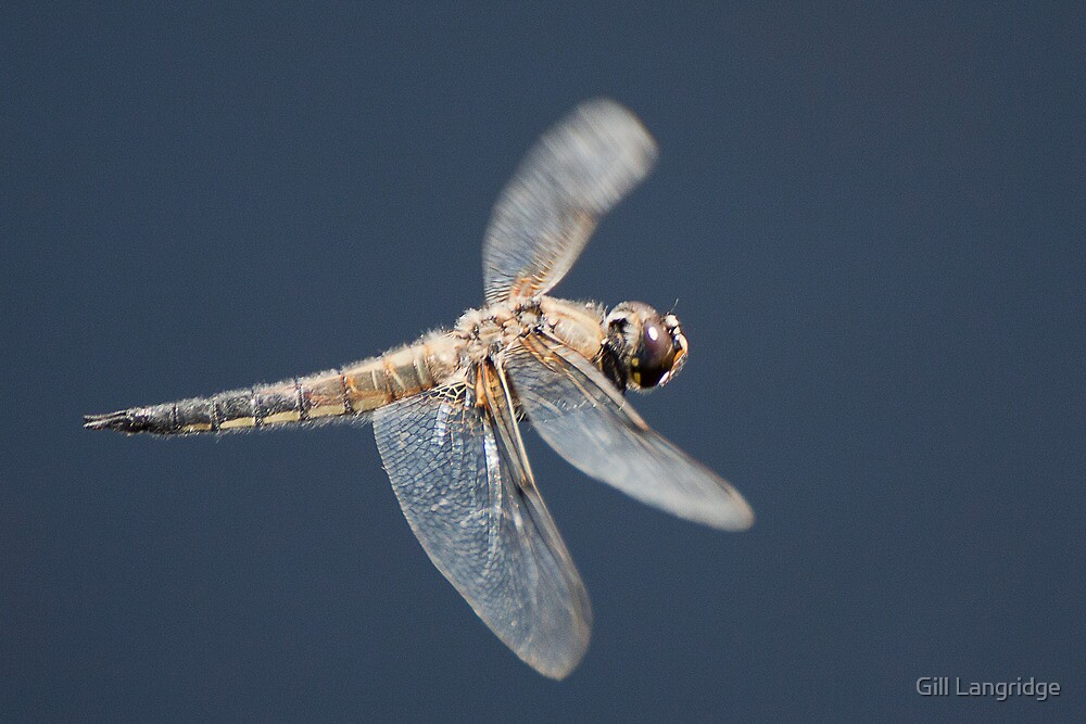 Four Spotted Chaser in flight by Gill Langridge