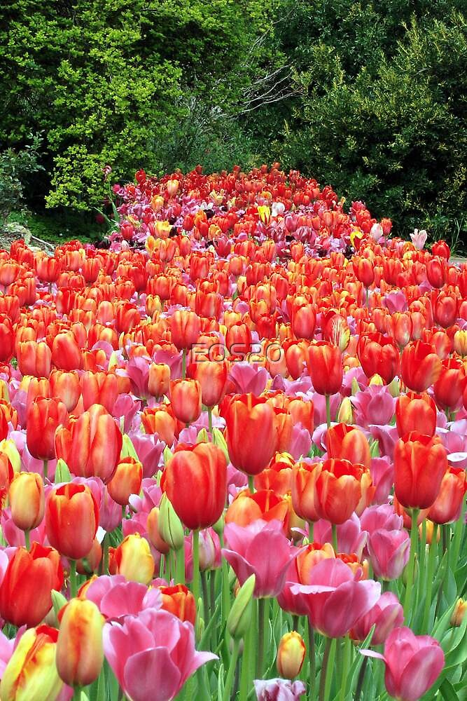 Tulips  by EOS20