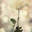 Dreamy Rose by Lynne Morris