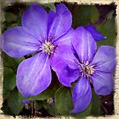 Clematis by Colleen Drew