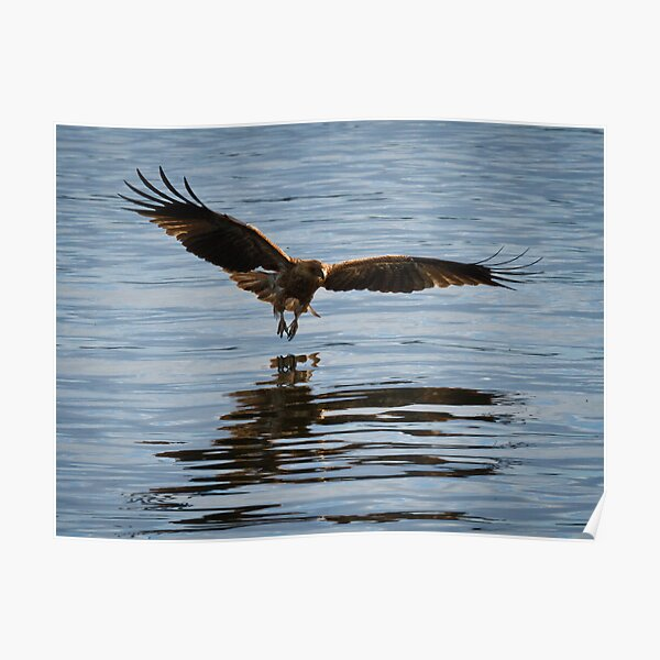 Eagle swooping Poster