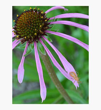 Orange bug on Purple Coneflower Photographic Print
