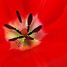 Red Tulip Flower art prints Floral Baslee Troutman by BasleeArtPrints