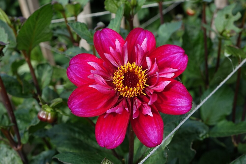 Dahlia by frogs123