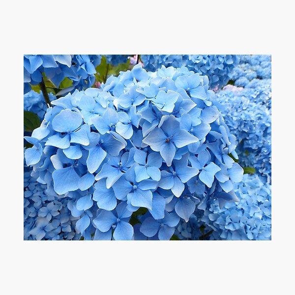 Pale Blue Flowers Hydrangea Photo Photographic Print