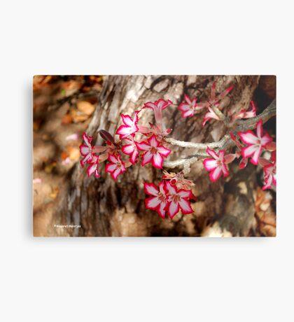 WINTER JOY IN SHINGWEDZI - The Impala lily Metal Print