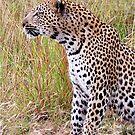 PERFECT CREATION - THE LEOPARD - Panthera pardus by Magriet Meintjes