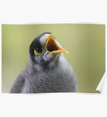 The self elected sheriff, the Noisy Miner Poster