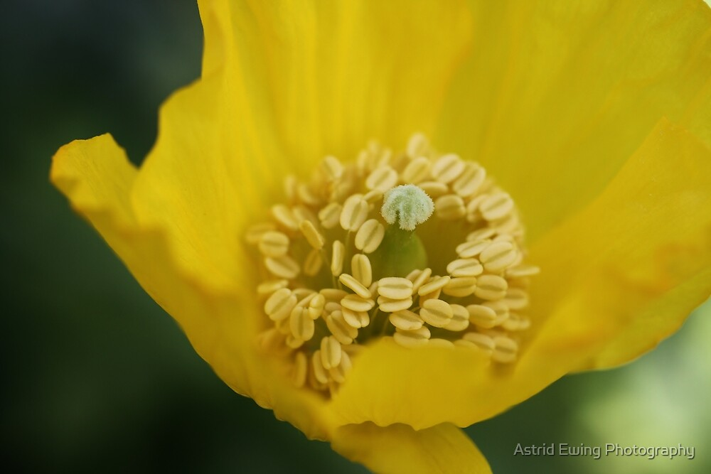 Yellow Poppy by Astrid Ewing Photography