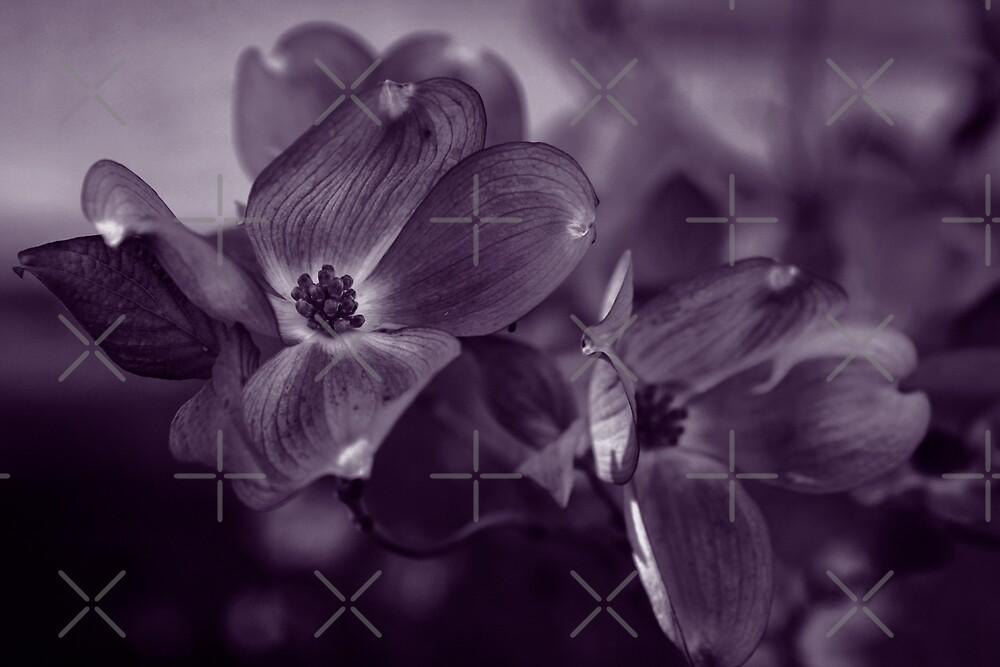 Dogwood Blossoms (Purple Duotone) by Alison  Pascal