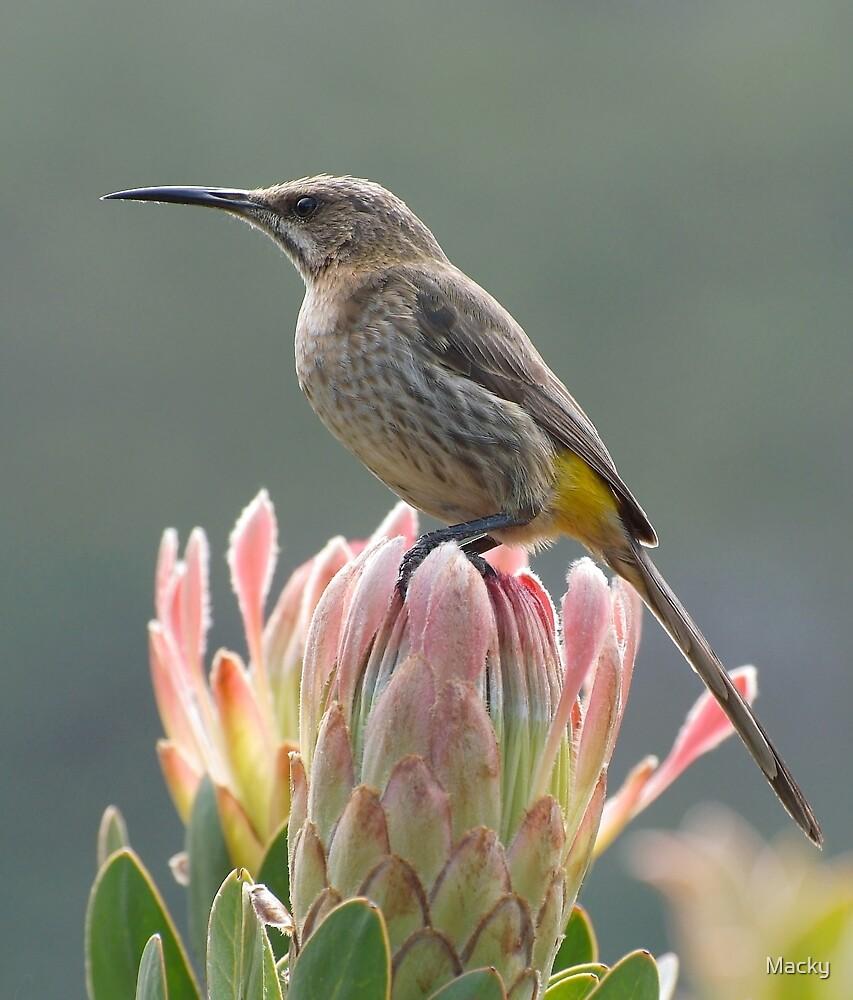 Sugarbird on Protea by Macky
