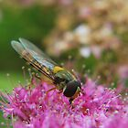 Hoverfly in the Pink. by relayer51