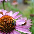 Summer Echinacea by jewelsofawe