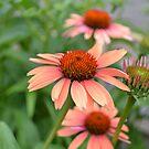 Echinacea Flowers by jewelsofawe