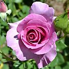 Pink Rose by jewelsofawe