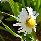 Spring Daisies by jewelsofawe