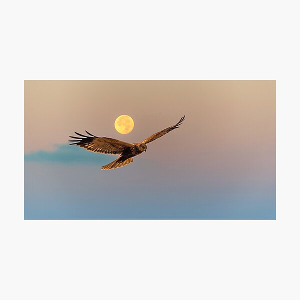 Marsh Harrier with Full Moon at Sunrise Photographic Print