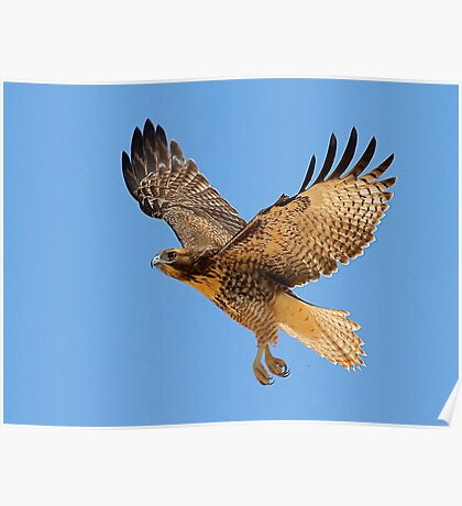 0709111 Red Tailed Hawk Poster