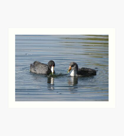 American Coot with Juvenile  Art Print