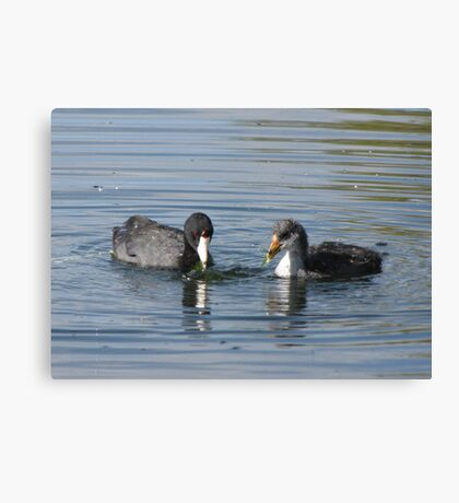 American Coot with Juvenile  Canvas Print