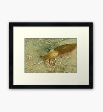Hunting Mourning Cuttlefish - Sepia plangon Framed Print