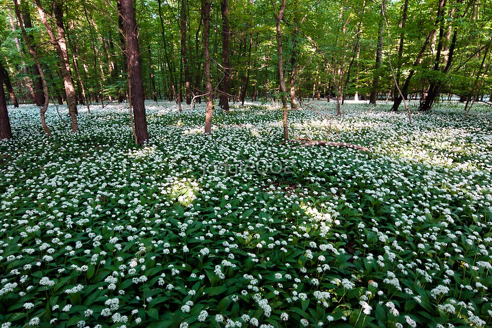 Ramsons Forest by joggi2002