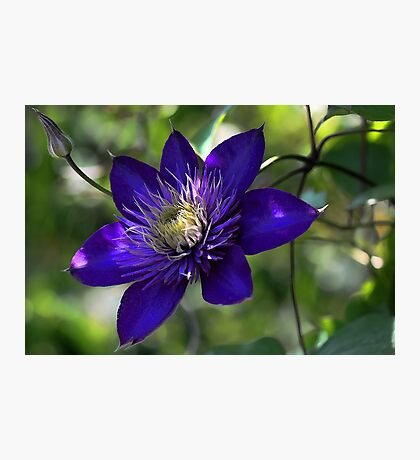 Clematis - Multi Blue Photographic Print