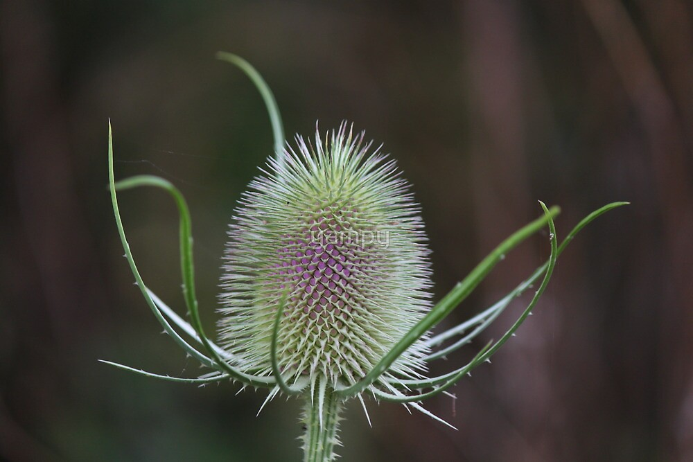Its teasel time by yampy