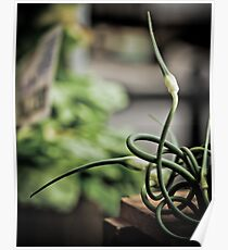 Garlic Scapes Poster