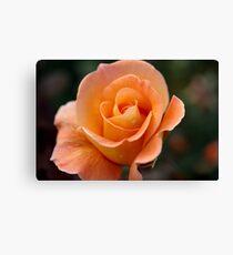 Apricot Beauty Rose 4 Canvas Print