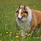 Rough Collie in the Fields by dazzleng