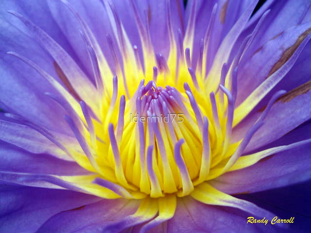 Purple Pond Lily by ldermid75