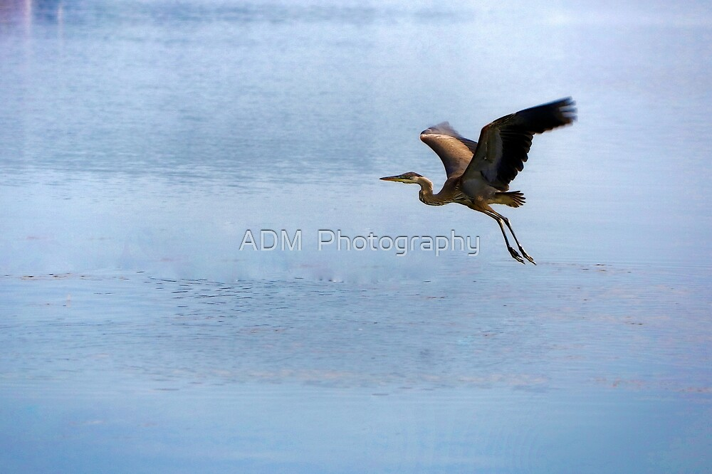 Heron in Flight by Amber D Hathaway Photography