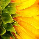Sunflower Detail by Beth Mason