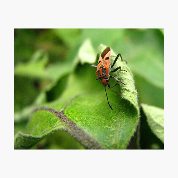 Aubergine Leaf Topped With Beetle Photographic Print
