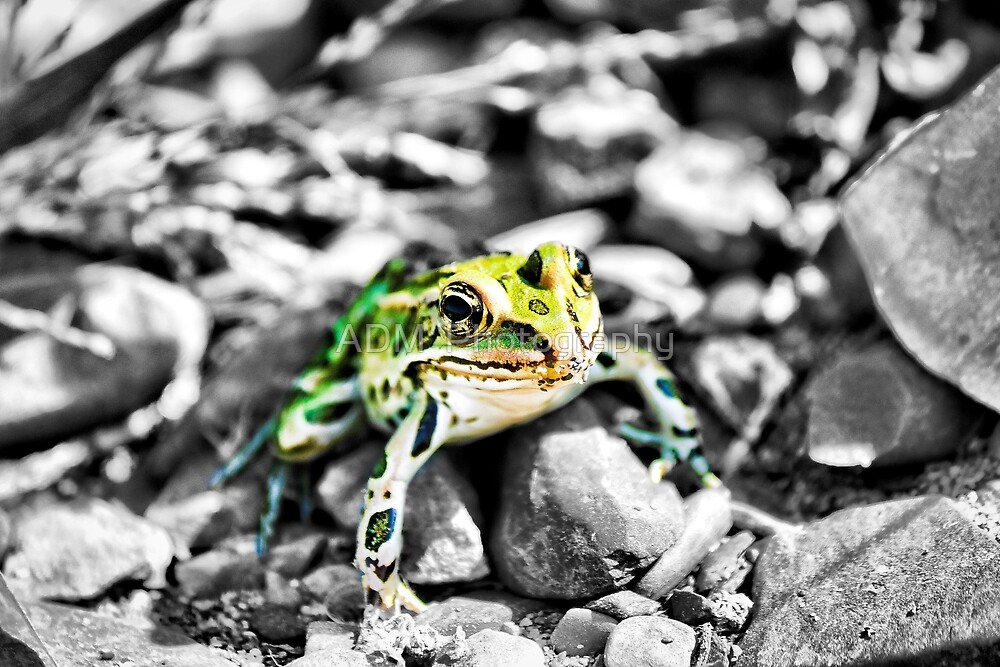 Leopard frog in color by Amber D Hathaway Photography