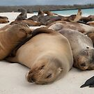 Sleepy sea lions, Galapagos by Stephen Colquitt