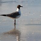 Laughing Gull by LauraBroussard