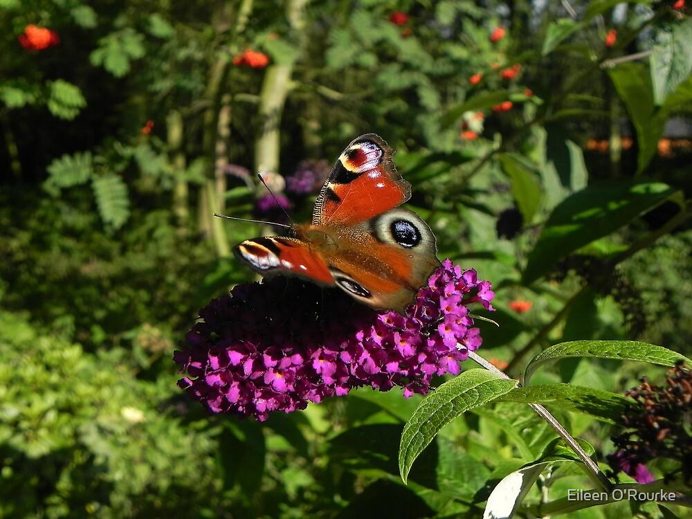 Peacock Butterfly by Eileen O'Rourke