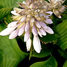 Hosta Flowers by Shulie1